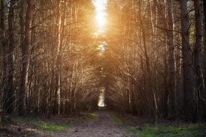Weg im Kiefernwald an einem sonnigen Tag foto
