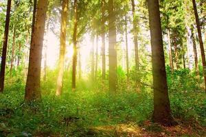 Sonnenstrahlen strömen durch Bäume im Wald.