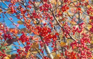 rote Herbst Eberesche