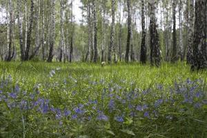 Birken und Blumen