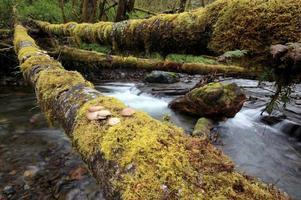 Austernpilze auf einem Baumstamm über einen Bach foto