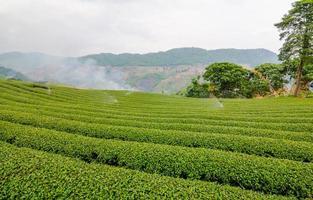 Teeplantage auf dem Hügel foto