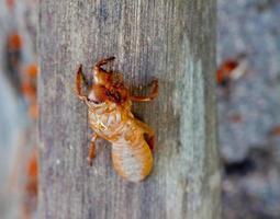 Zikadenschale auf Baum