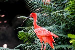 scharlachroter Ibis-Vogel