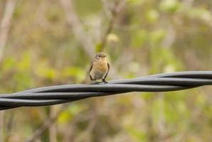 rotbrüstiger Fliegenfänger (Ficedula Parva) foto