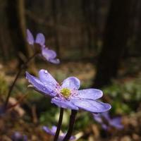 hepatica nobilis - Anemone hepatica foto