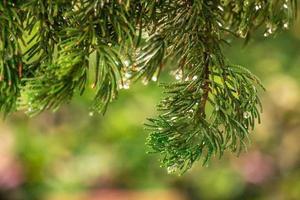Kiefer auf unscharfem buntem Hintergrundwald. Regentropfen auf Kiefer foto