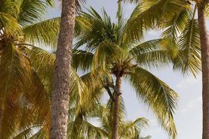 starker geschickter Mann, der Kokosnuss in Guadeloupe pflückt foto