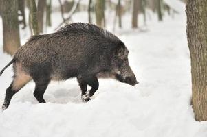 Wildschwein foto