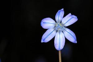Scilla Bifolia Blume auf dunklem Hintergrund