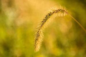 Nahaufnahme Weizengras im Herbst in Illinois foto