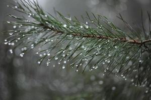 Tannenbaum im Tau