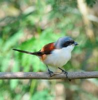 Vogel birmanischer Würger foto