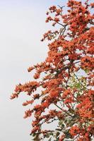 Flamme des Waldes, Butea monosperma o.ktze, Leguminosae-Papilio foto