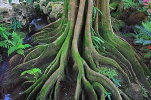 Wurzel des Baumes. die Wurzeln des Baumes foto