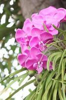 lila Orchideen auf Bäumen.