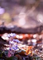 wilde lila Blume foto