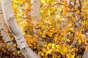 Birken der Vulkan Ätna im Herbst