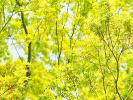 frischer grüner Ahorn
