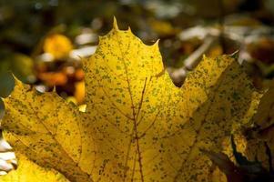 goldenes Blatt überbelichtete Sonne