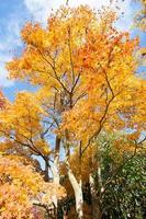 feurig prächtiger Ahornbaum im Herbst