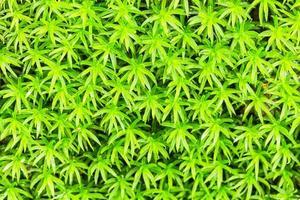 grünes Moos foto