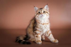 reinrassige sibirische Katze, die auf braunem Hintergrund sitzt