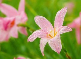 die schönen rosa Blumen auf grünem Hintergrund. foto