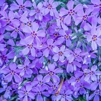 violetter Frühlingsblumenhintergrund foto