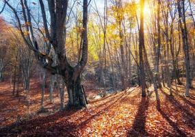 schöner Herbstwald in den Krimbergen bei Sonnenuntergang. Natur