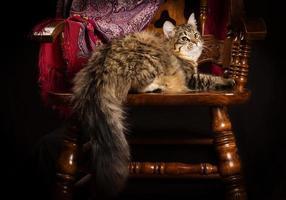 reinrassige sibirische Katze, die auf einem Stuhl liegt