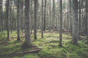 Wald mit moosbedeckten Bäumen und Sonnenstrahlen. Jahrgang.