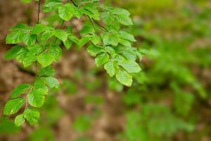 grüne Baumblätter isoliert. foto
