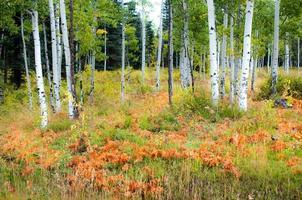 Herbstsaison unter Espenbäumen