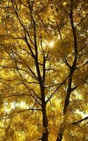 gelber Baum foto