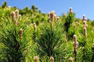 Kiefernwald in den Bergen an einem schönen Tag foto