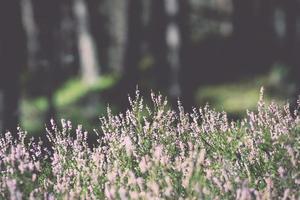 Herbstheide mit Bokeh. Jahrgang. foto