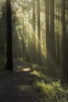 weiches Licht, das an einem frühen nebligen Morgen in den dunklen Wald eintritt. foto