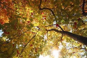 herbstlich gefärbte Blätter, Ahorn foto