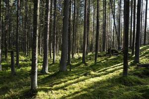 dunkler Wald mit Tannen und Kiefern im Sommer