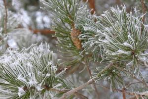 Zweige von Kiefern-Raureif bedeckt