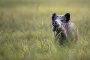 Wildschwein in freier Wildbahn foto