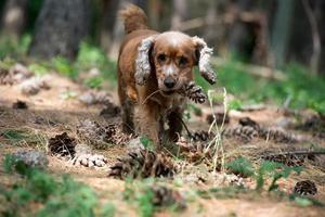 glücklicher Welpe, der zu Ihnen auf dem Waldhintergrund läuft foto