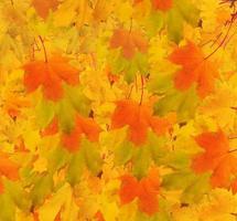 Herbstahornzweig mit Blättern. abstrakter Hintergrund