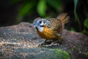 Spot-Necked Babbler foto