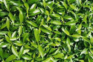 grüne Blätter foto