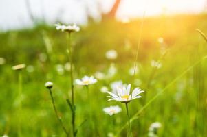 grünes Gras auf der Wiese und Kamillenblüten