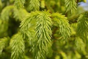 Nahaufnahme der neuen Zweigfichte (picea abies)