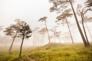 Kiefernwald goldenes Licht im Nebel und regnerischer Nebel