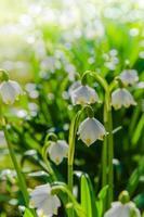 weiße Frühlingsschneeglöckchen, Nahaufnahme foto